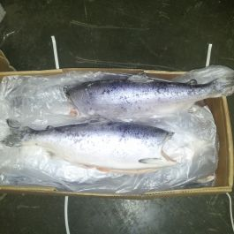 Frozen coho salmon gutted head of (Oncorhynchus kisutch)